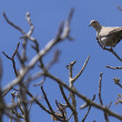 Turtle dove on a branch — Stock Photo