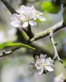 Bee over flower — Stock Photo
