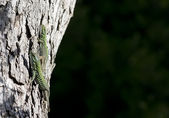 Two lizards on a tree — Stockfoto