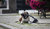 Watchdog — Stock Photo