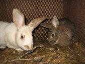 Pair domestic rabbits — Stock Photo
