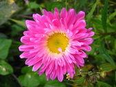 Kırmızı güzel aster çiçek — Stok fotoğraf