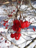 Red guelder-rose — Stock Photo