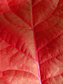 Very unusual red background from a leaf — Stock Photo