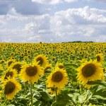 Sunflowers in Burgundy — Stock Photo #11266968