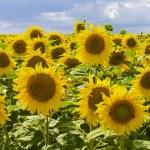 Sunflowers in Burgundy — Stock Photo #11266988