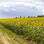 Sunflowers in Burgundy — Stock Photo #11266989