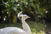 Fontainebleau - weißer pfau — Stockfoto