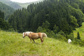 Horses in the italian mountains — Stok fotoğraf