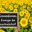 Stock Photo: Sunflower, energy grows