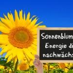 Sunflower, the energy grows — Stock Photo
