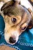 Melankolisk hund — Stockfoto