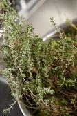 Thyme herbs — Stock Photo