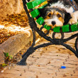 Simply dog — Stockfoto #11538108