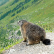 Alpine Marmot — Stock Photo #11447860