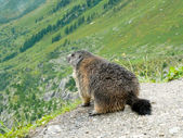 Alpine Marmot — Stock Photo