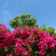 Beautiful purple bougainvilleas in a Mediterranean garden - Stock Photo