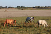 Horses in the Doñana National Park, Province of Huelva Andalusia, Spain — Stock Photo