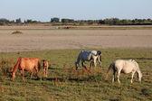Horses in the Doñana National Park, Province of Huelva Andalusia, Spain — Stock Photo