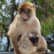The semi-wild Barbary Macaques in Gibraltar. — Stock Photo