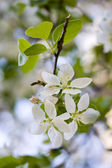 Fruitboom bloeien — Stockfoto