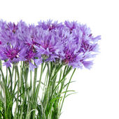 Cornflower flowers bouquet isolated on white background — Stock Photo