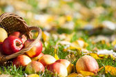 Red apples in autumn garden — Stock Photo