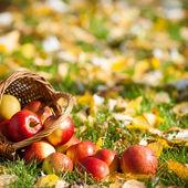 červená jablka do koše — Stock fotografie