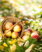 Red apples in autumn — Stock Photo
