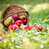 Basket full of red apples — Stockfoto