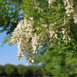 Stock Photo: Flowering acacia