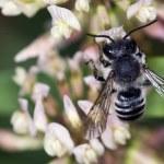 Bee apis mellifica — Stock Photo #12105037