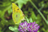 Butterfly Cloudless Sulphur on flower — Stock Photo