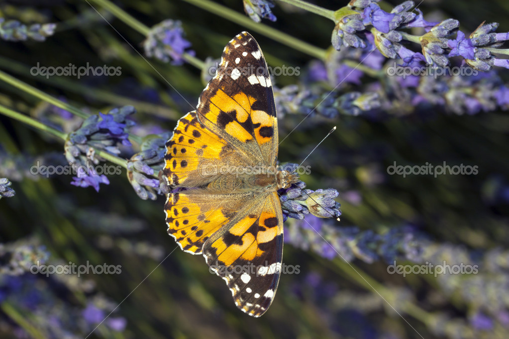 Beatiful butterfly resting on a flower — Stock Photo #12386879