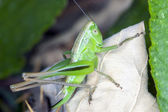 Grasshopper on a dry leaf — Stock Photo