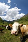 Wild cow — Stockfoto