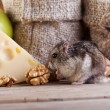 Rodent in the pantry — Stock Photo