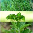 Stock Photo: Aromatic herbs
