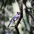 Blue jay bird on branch — Stock Photo #11365548
