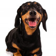 Curios funny Dachsund dog — Stock Photo