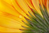 Gerberas, flowers and natural backgrounds — Stock Photo