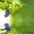 Bunch of grapes — Stock Photo #11604347