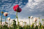 Haşhaş alan — Stok fotoğraf