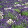 Lavander field — Stock Photo
