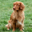 Nova Scotia Duck Tolling Retriever — Stock Photo