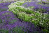 Lavander field — Stock Photo