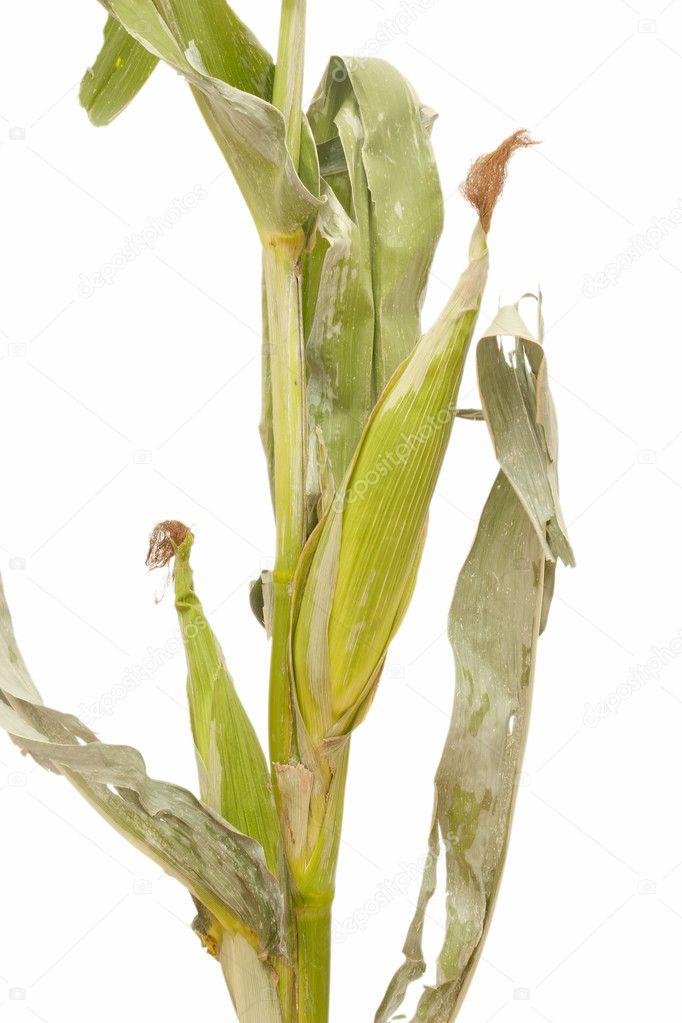 玉米秸秆 - 图库图片