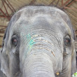 Elephant head — Stock Photo #12021235