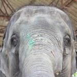 Elephant head — Stock Photo