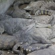 Group of alligator — Foto de Stock